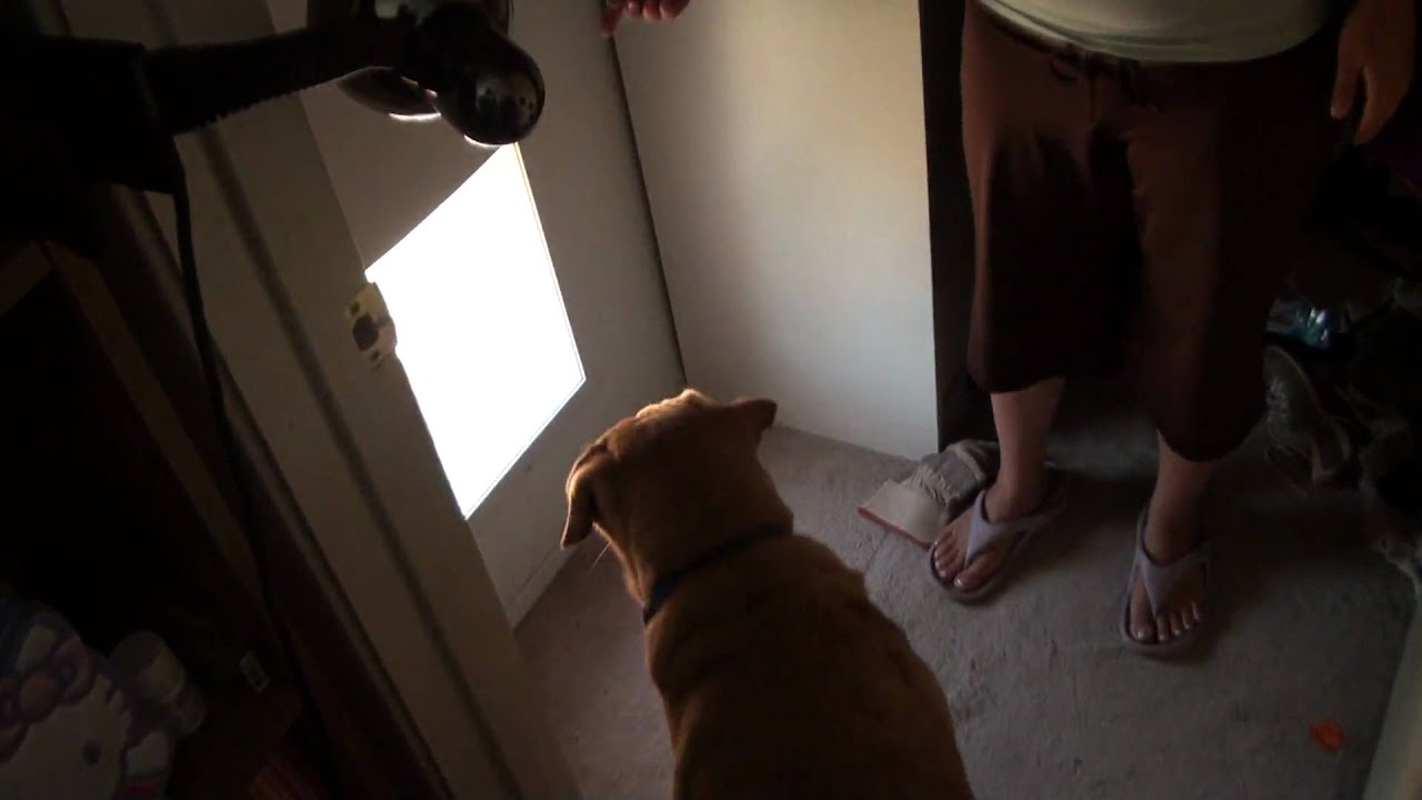 Kiba Our 3 Legged Lab Uses New Automatic Dog Door Px 1 By Power