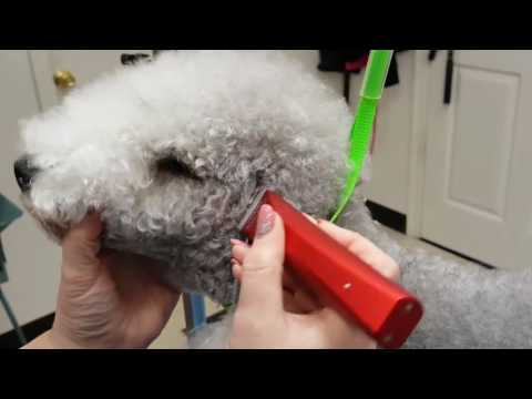 Bedlington terrier : ears and face shaving