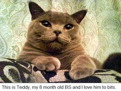 european shorthair cat lifespan - YouTube