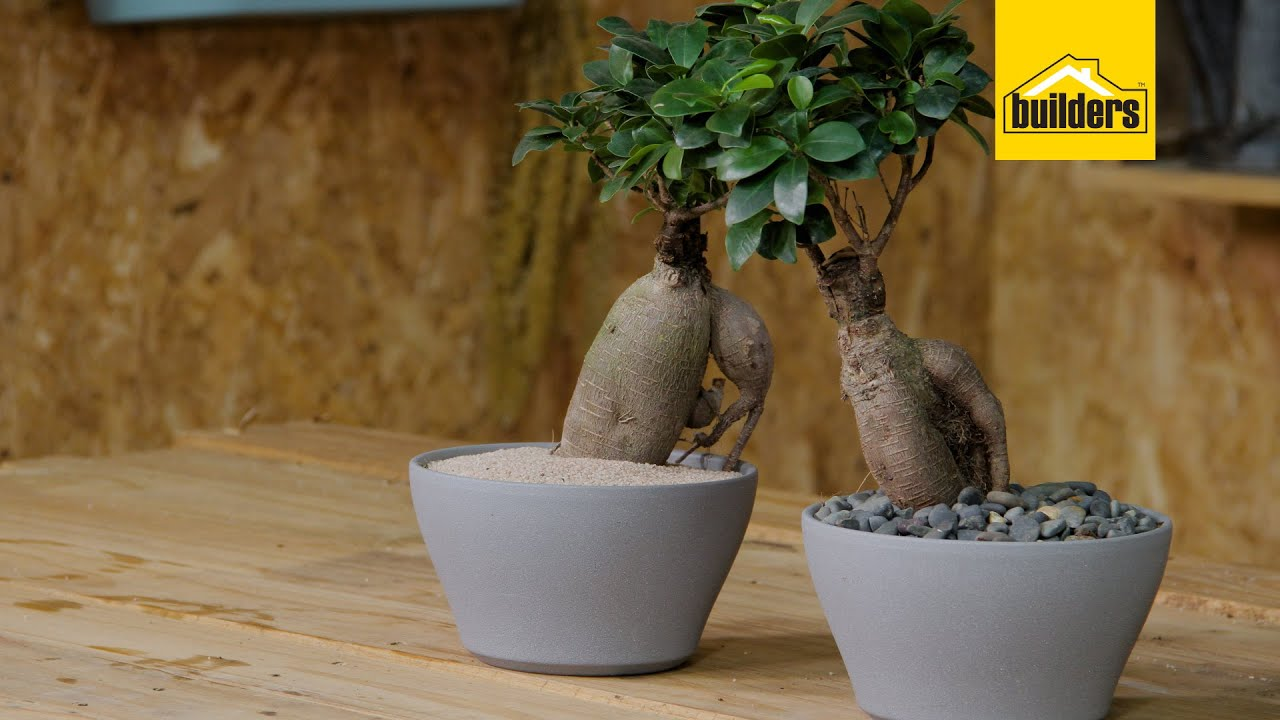 Taking Care Of A Ginseng Ficus Youtube