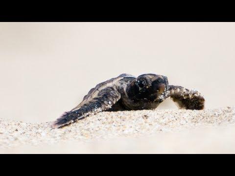 Sea Turtles Hatchlings 05