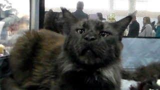 Огромный МЕЙН КУН - Король Домашних Кошек | ПОРОДЫ КОШЕК
