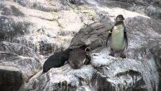 葛西臨海水族園のフンボルトペンギンの338番、お尻を突っつかれてプール...