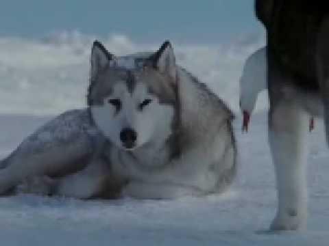 Dailymotion - Gregorian vs Antarctica, une vidéo de zerty  gregorian, antarctica, film, chien, traîneaux
