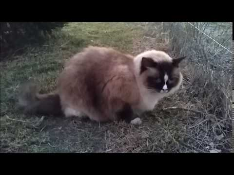 Valentino meows at the neighbours cat - PoathCats / PoathTV / Floppy Ragdoll Cats