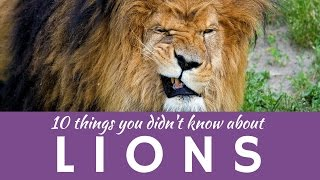 10 LION facts & fun presentation of characterists of the King of the Jungle