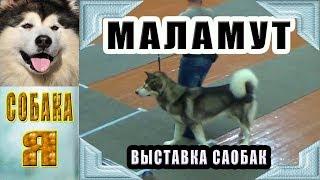 Маламут, региональная Выставка Собак всех пород, Архангельск.