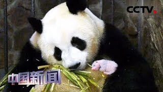 [中国新闻] 四川成都:体重最轻熊猫宝宝满月啦! | CCTV中文国际