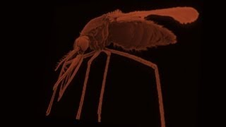 "Mosquito sperm have a ""sense of smell"""