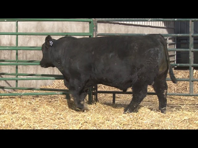 Schiefelbein Angus Farms Lot 122