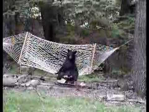bear relaxing in hammock  c    youtube  rh   youtube