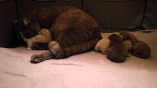 Шоколадная британка Манюня и ее маленькие новорожденные двухневные котята