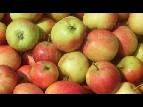 A guide to harvesting apples