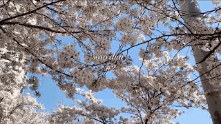 ENG) 일상 VLOG | 랜선 벚꽃구경, 고양이 최애…