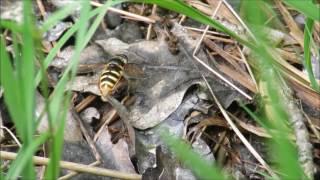 Bog hoverfly - Sericomyia silentis copulating