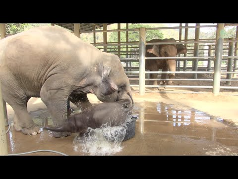 Baby elephant bathing in the bathtub