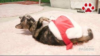 サンタクロースにはなれラなかった仔猫らな【瀬戸のらな日記】A kitten Lana couldn't be a Santa