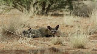 Bat-eared Foxes - Tswalu Nature Reserve