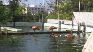 カモが喧嘩してるところを撮影した動画です。 場所の取り合いをしている...