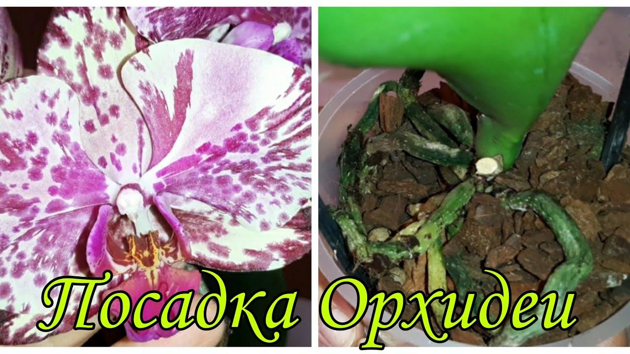 Посадка Орхидеи из Пятёрочки | Phal. Ark's Ray - Пятёрочка