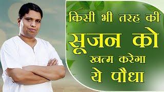किसी भी तरह की सूजन Swelling को खत्म करेगा ये पौधा   Acharya Balkrishna