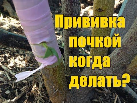 Вопрос: Как правильно прививать деревья и в какой период?