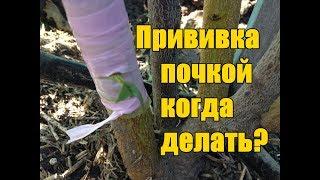 видео Прививка косточковых культур