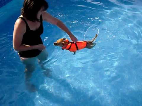 Rambo the Chihuahua's first swim lesson!