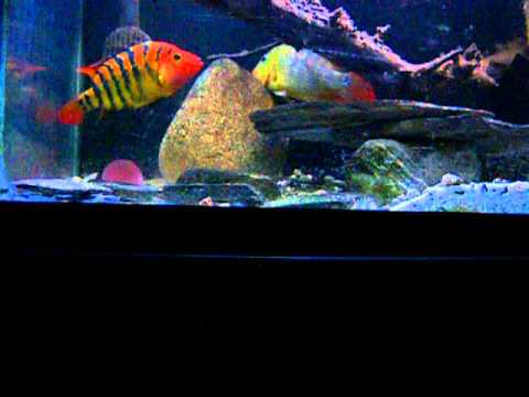 Super Red Tiger Motaguense Update Doovi