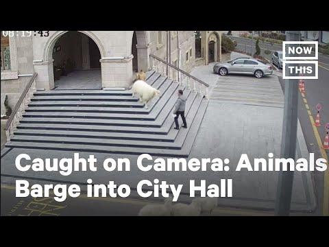 Wild Animals Storm City Hall in Turkey | NowThis