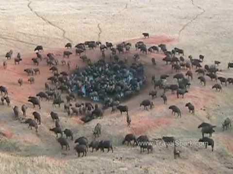 Cape Buffalo Tsavo East National Park, Kenya