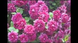 Раскошные клематисы(Клематисы в последнее время очень популярны. Красивые крупные цветки самых разных расцветок, очень длител..., 2015-01-21T13:04:05.000Z)