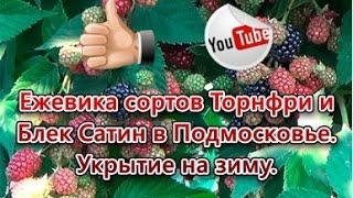видео Ежевика Блек Сетин