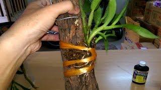Cách ghép lan thân thòng vào gỗ vú sữa