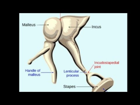 Anatomy Of Incus And Stapes ( Ear Ossicles ) Part 3
