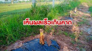 """ปลูกกล้วยในดงหญ้าให้ได้ผลดี100%""""โตเร็วให้หน่อดกต้องสูตรนี้เลย"""" #สวนเกษตรพอเพียงบนแผ่นดินพ่อ"""