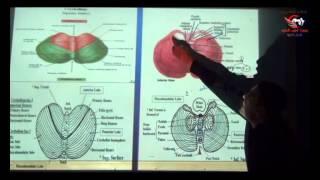 Dr Ahmed Elzainy Cerebellum   Neuroanatomy   الدكتور احمد الزيني