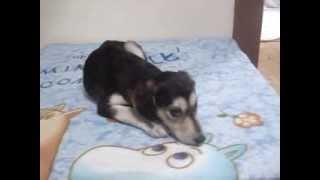 可愛いサルーキの子犬が産まれています。 興味のある方 ブリーダーズハ...