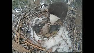"Big Bear Eagles - Jackie, aka ""Oueen of the Nest"" - 2-19-18"
