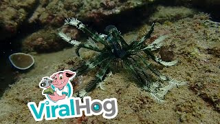 Feather Starfish Swimming and Walking || ViralHog