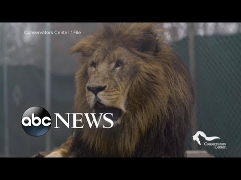 Lion escapes zoo enclosure, kills 22-year-old intern