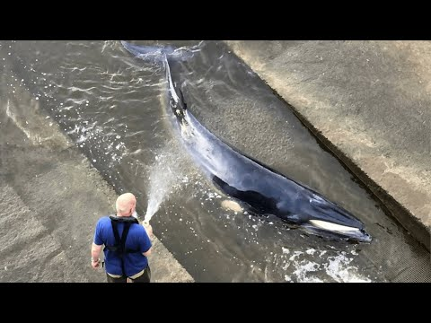 Minke Whale escapes after becoming stranded in River Thames Richmond lock