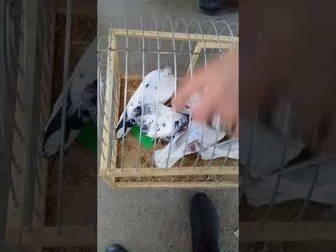 Шымкет. Крытый рынок щеглы и голуби