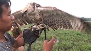 Xuất Hiện cao thủ đi săn cò bằng chim đại bàng | Bird hunting | Miền tây dân dã