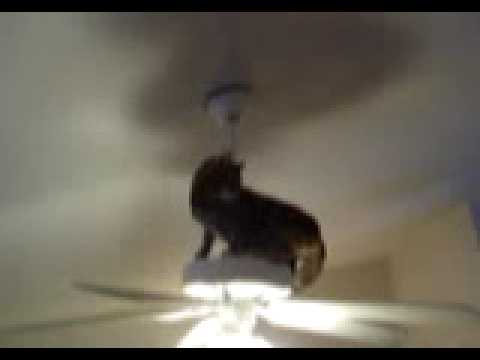 Cat on a ceiling fan youtube aloadofball Choice Image