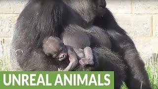 Rare newborn baby gorilla at Twycross Zoo