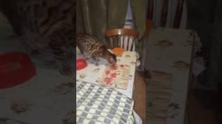 Бенгальская кошка закапывает еду