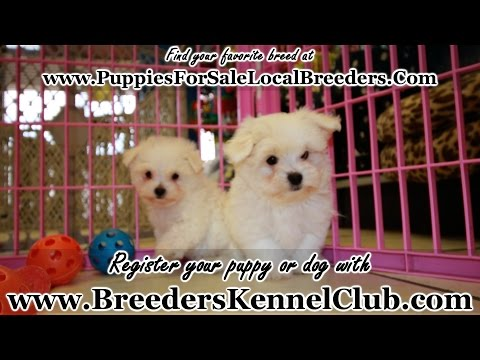 MALTESE PUPPIES FOR SALE IN GEORGIA LOCAL BREEDERS