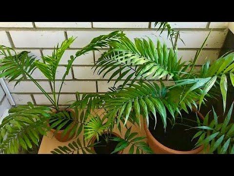 Хамедорея ��Как пересадить пальму��