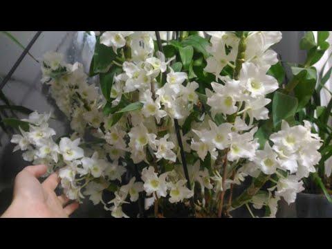 Дендробиум Нобиле😃супер орхидея!!!💞